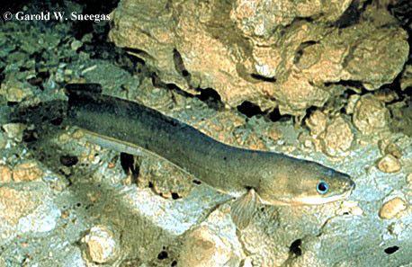 American eel -Anguilla oceanica- American Conger - Conger oceanica - Conger oceanicus