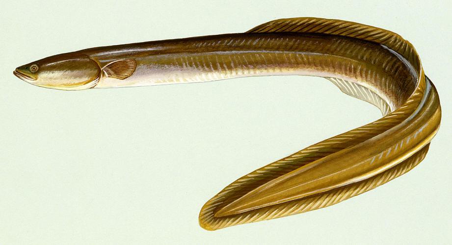 Anguilla Rostrata -Anguilla americana - American eel.