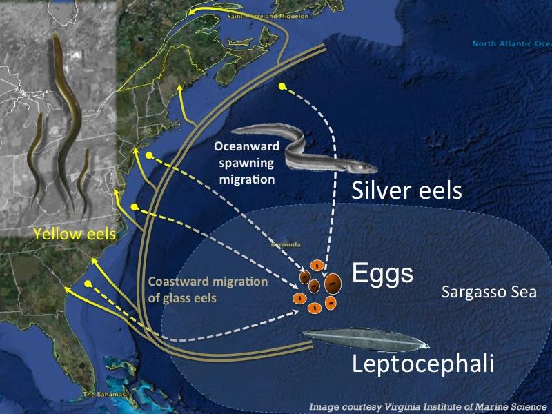 Anguilla americana - Anguilla Rostrata American eel Migrazione dal mar dei Sargassi alle coste americane