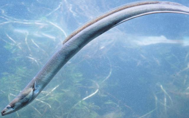 Anguilla europea -Anguilla anguilla - -Capitone - Leptocephalus brevirostris - European eel