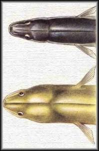 Anguilla anguilla - Anguilla europea Capitone - Leptocephalus brevirostris - European eel