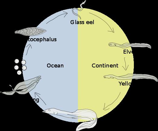 Anguilla - Ciclo vitale di un anguilliforme
