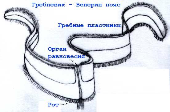 Cinto di Venere ,Cestum veneris,cintura di Venere
