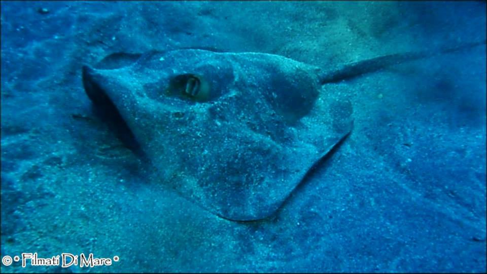 Dasyatis pastinaca,Common stingray,trigone