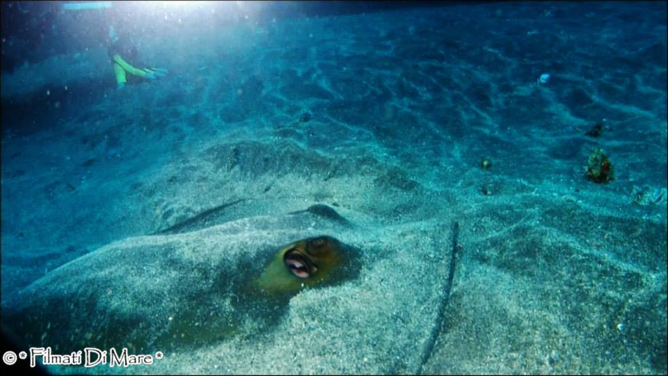 Trigone,Common stingray,Dasyatis pastinaca
