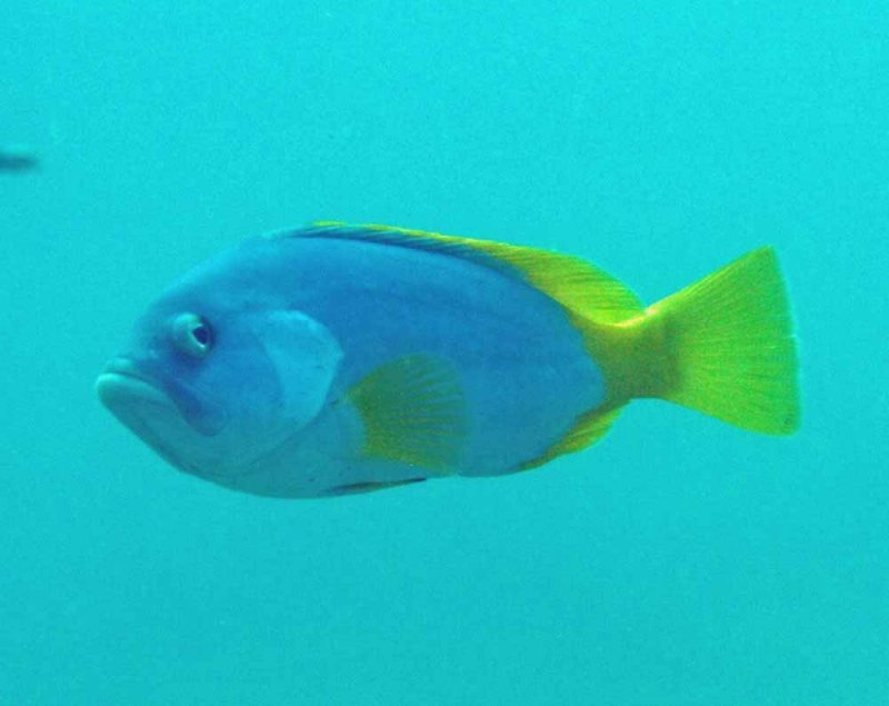 Blue and yellow grouper, Cernia gialla e blu, Epinephelus flavocaeruleus