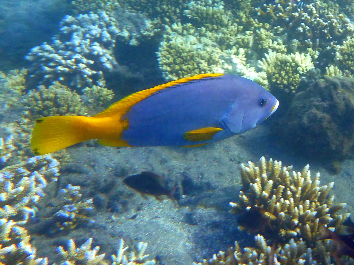 Cernia gialla e blu, Epinephelus flavocaeruleus , Blue and yellow grouper