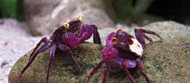 Geosesarma-Dennerle-Vampire-Crab-Granchio-vampiroVampire Crab ,Granchio vampiro