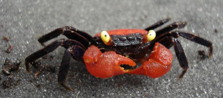 Geosesarma Hagen - Vampire Crab ,Granchio vampiro