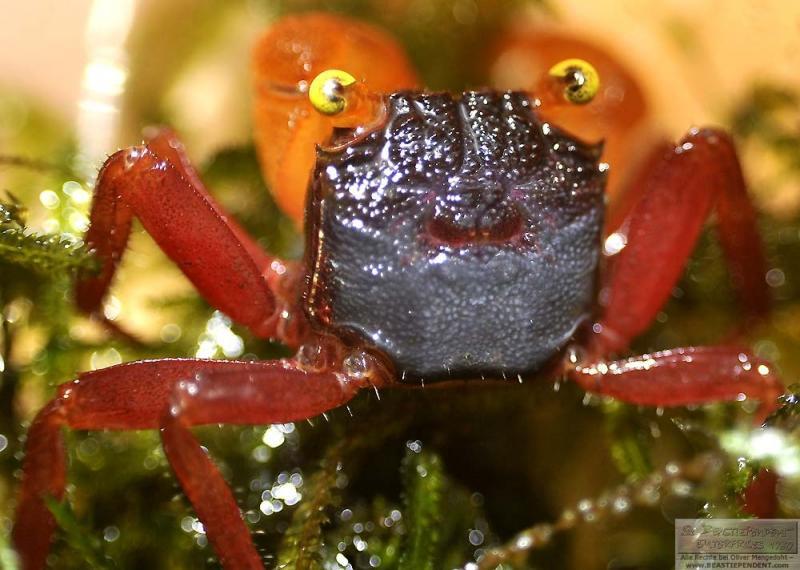 Geosesarma notophorum -Mandarin crab- Vampire Crab ,Granchio vampiro