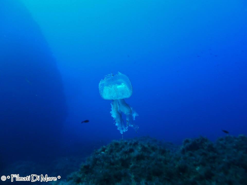 Pelagia noctiluca – Si nota la rottura dell'ombrello da dove sono uscite le uova -Panarea-Isole Eolie -Spinazzola (Sicilia) 03-09-2013