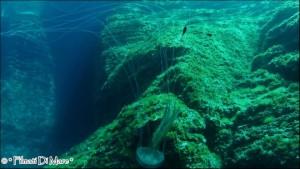 Pelagia noctiluca - Panarea-Isole Eolie -Spinazzola (Sicilia) 03-09-2013