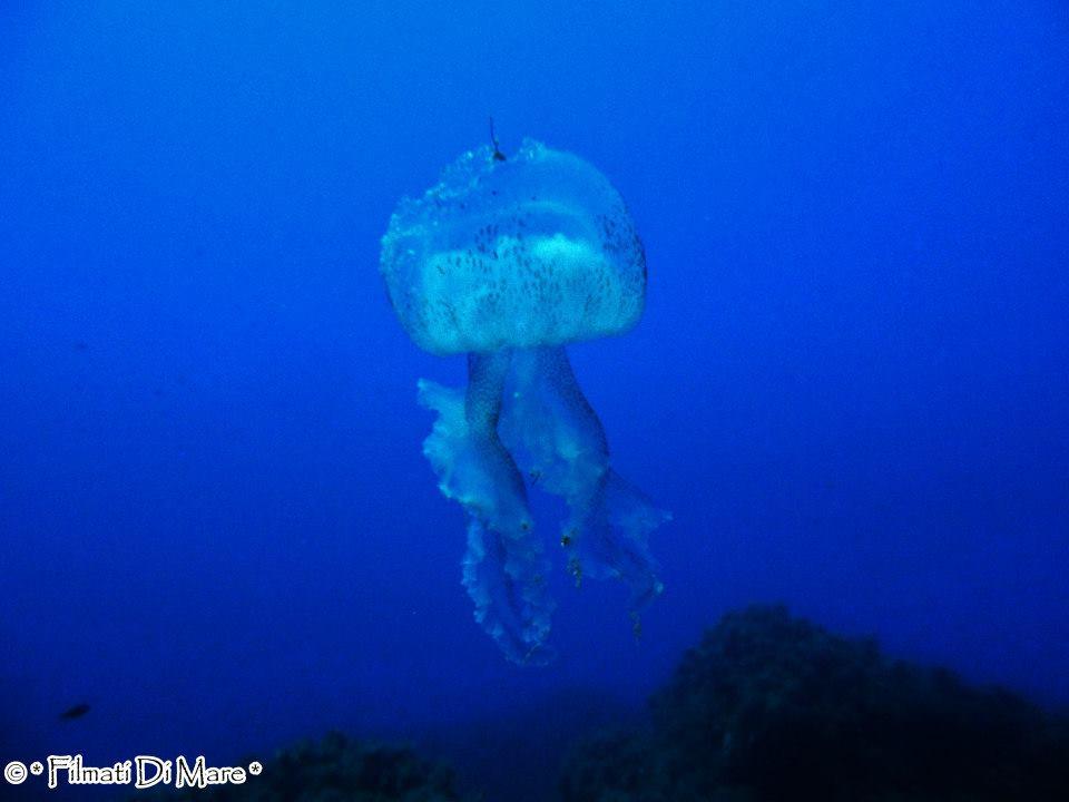 Pelagia noctiluca - Si nota la rottura dell'ombrello da dove sono uscite le uova -Panarea-Isole Eolie -Spinazzola (Sicilia) 03-09-2013
