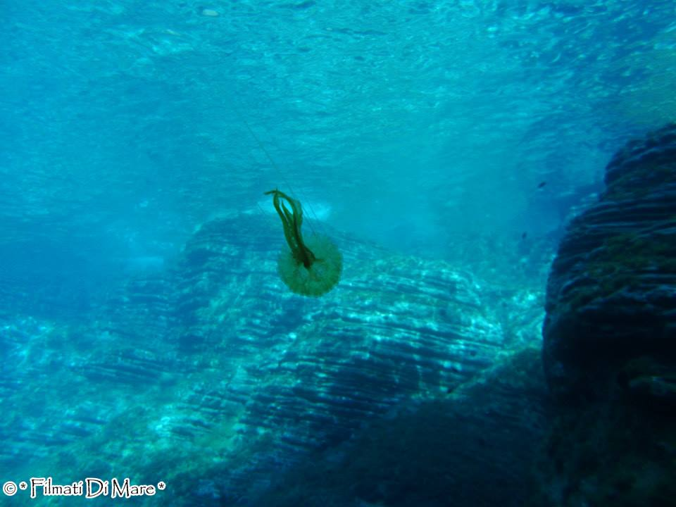 Pelagia noctiluca -medusa luminosa con in attivazione della  luce è verde o verdastra fluorescente sprigionata sotto forma di flash- Panarea-Isole Eolie -Spinazzola (Sicilia) 03-09-2013