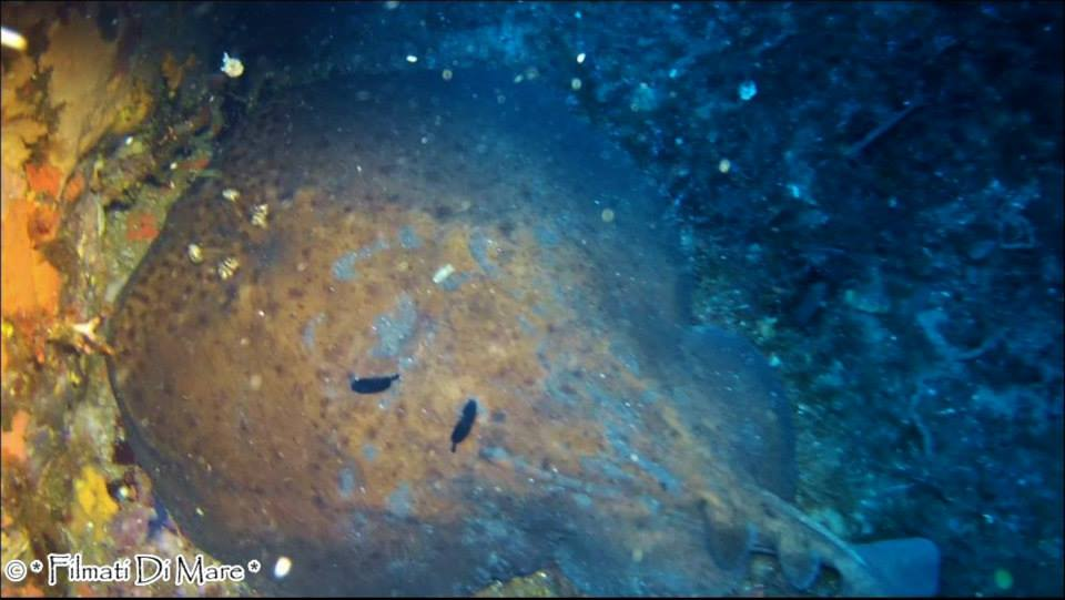 Torpedo-marmorata-Torpedine-marezzata-Panarea-Isole-Eolie-Sicilia-03-09-2013-Spinazzola-e-Pietra-della-Nave-