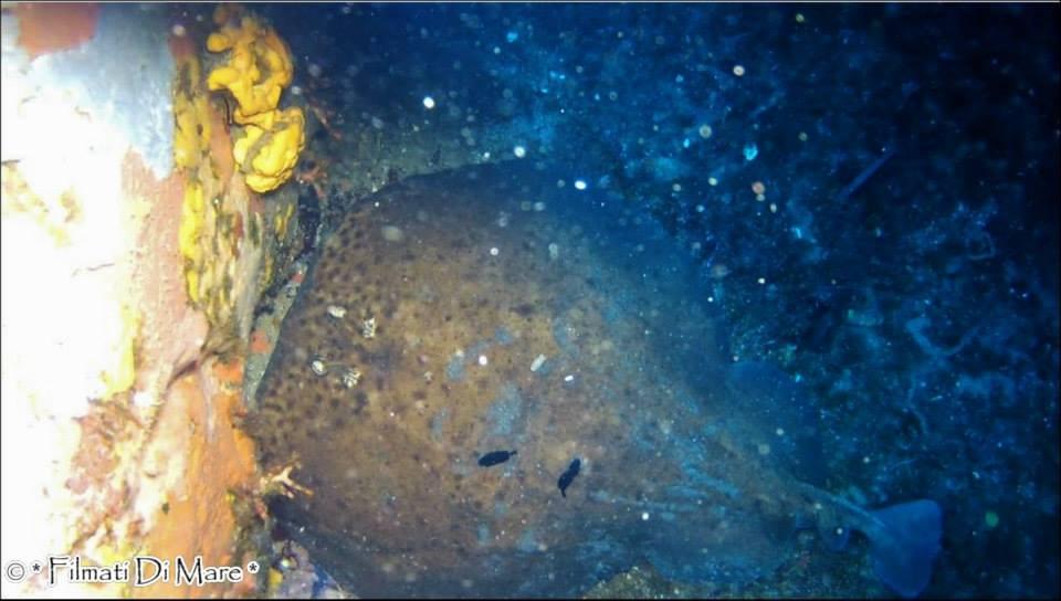 Creature marine pericolose -Torpedo-marmorata-Torpedine-marezzata-Panarea-Isole-Eolie-Sicilia-03-09-2013-Spinazzola-e-Pietra-della-Nave