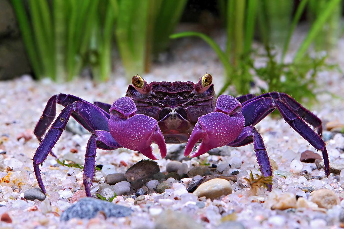 Vampire Crab ,Granchio vampiro -Geosesarma Dennerle