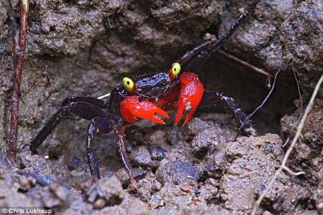 Vampire Crab ,Granchio vampiro -Geosesarma Hagen