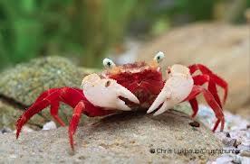 Vampire Crab ,Granchio vampiro -Geosesarma notophorum -Mandarin crab