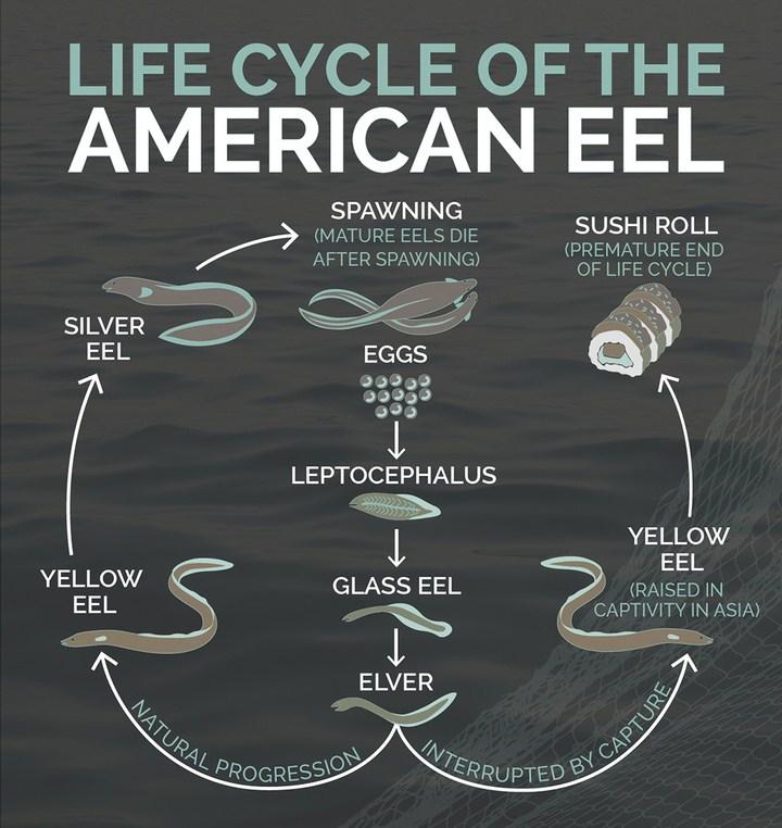 American-eel - Anguilla americana - Anguilla Rostrata - Ciclo di vita