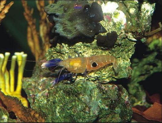 Bullseye Pistol Shrimp - Alpheus soror