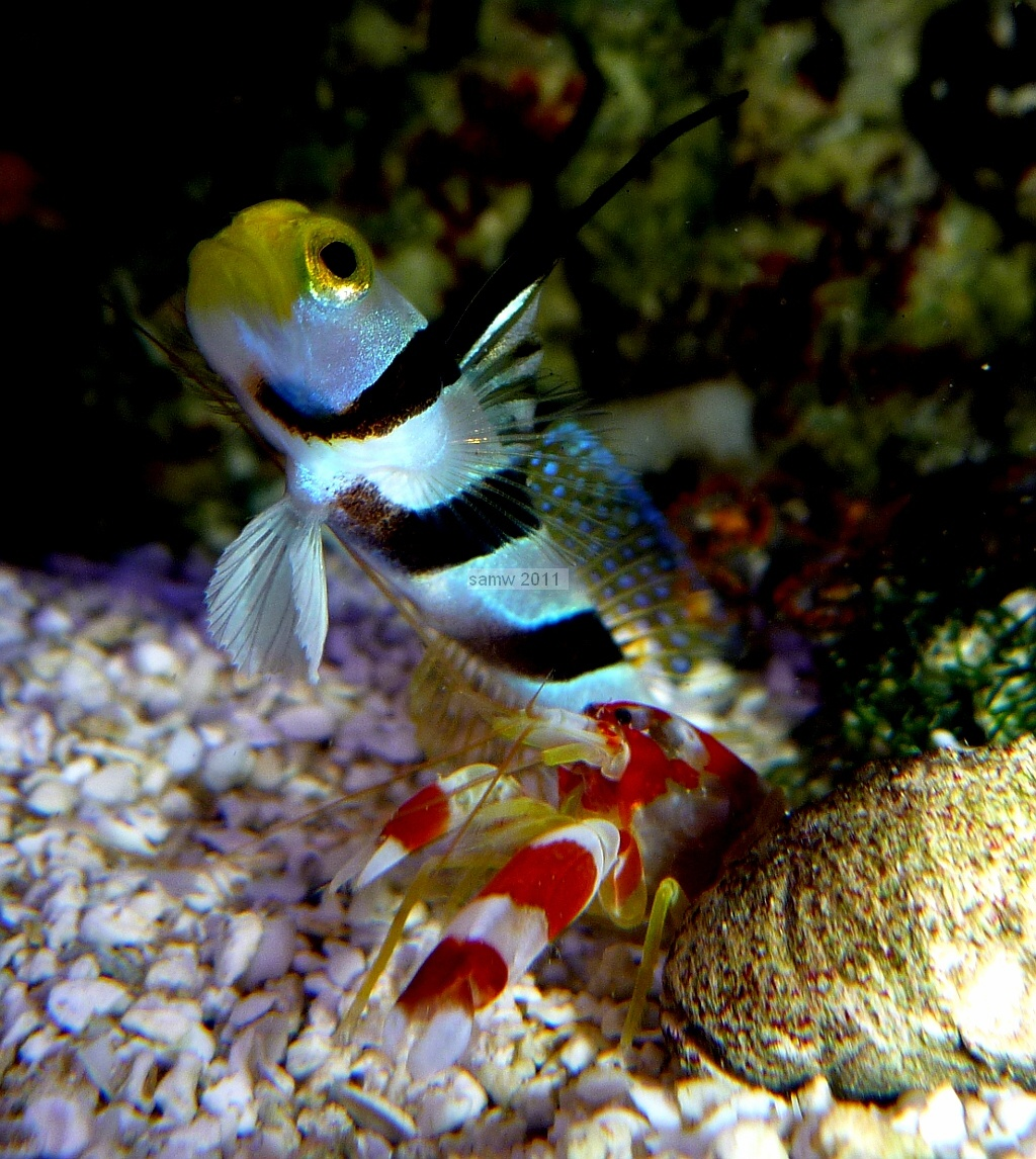 goby and blind shrimp relationship counseling