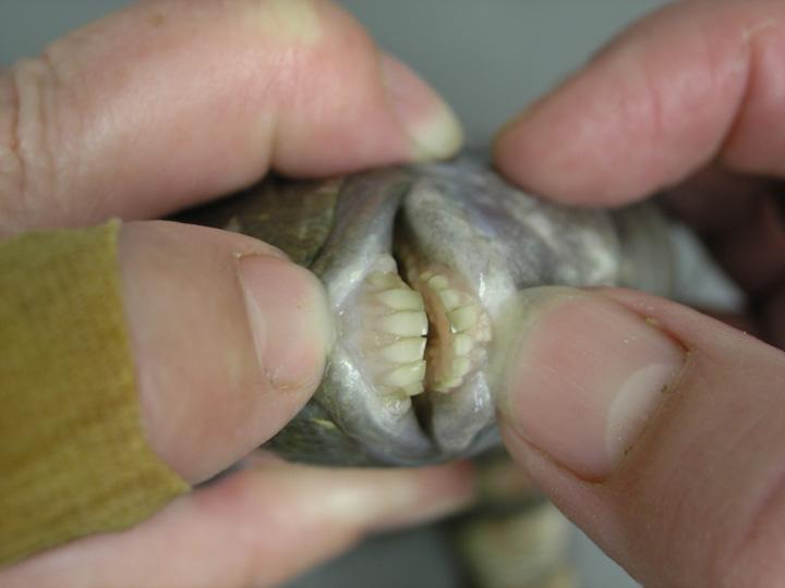Sarago faraone della Florida, Archosargus probatocephalus ,sheepshead. I denti quasi identici a quelli degli esseri umani.