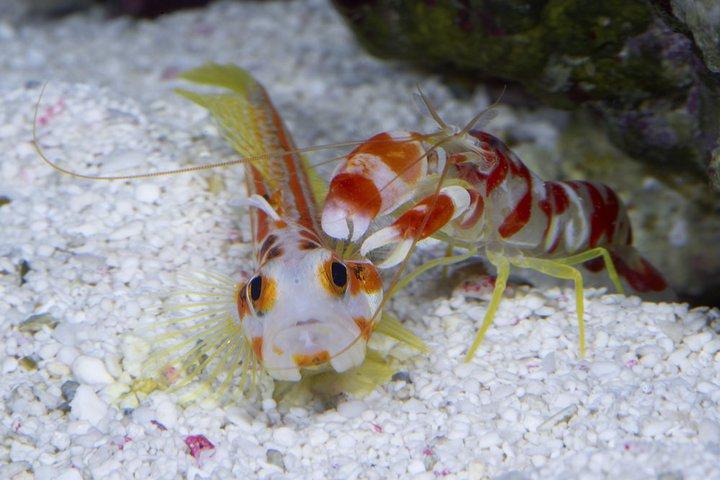 Shrimp e goby (Gamberetto e ghiozzo)