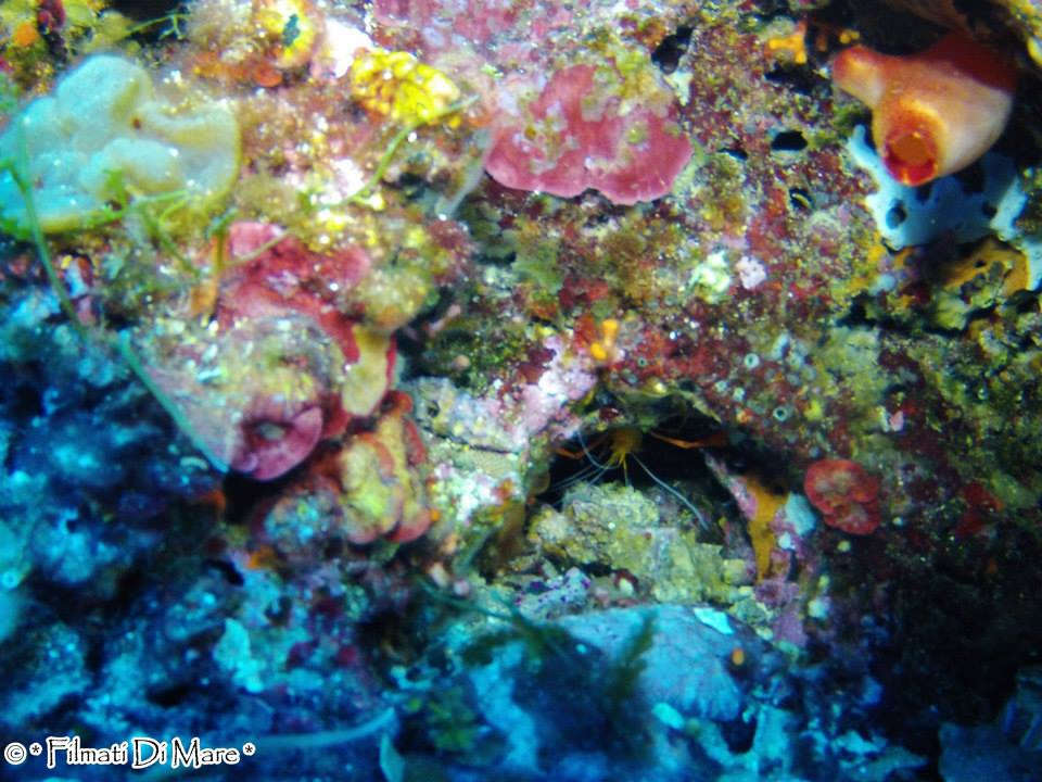Stenopus spinosus ,Gambero meccanico,alifantozza rosa, gambero pulitore