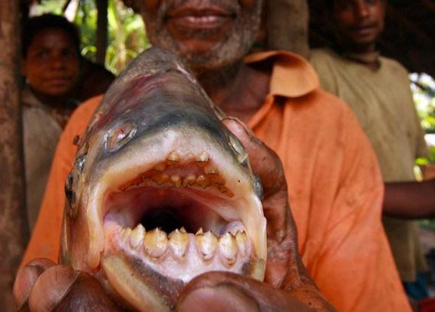 Pesce mangia testicoli -Pacu
