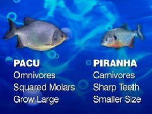 Pesce mangia testicoli ,Pacu,Serrasalminae