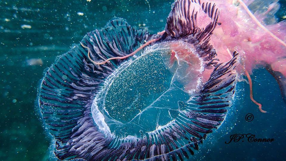 EQUORÉE ,Aequorea,Aequorée,Medusa aequorea - Foto by John Paul Connor