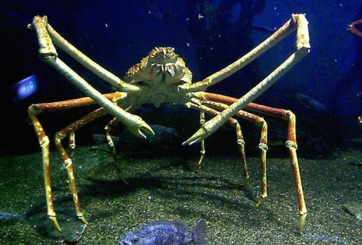 Macrocheira kaempferi - granchio preistorico, spider crab, granchio ragno giapponese, granchio gigante del Giappone