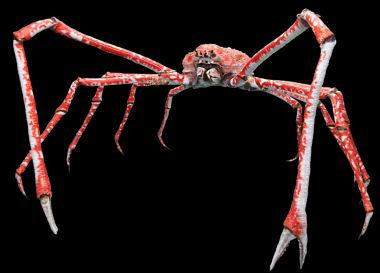 Granchio ragno giapponese, granchio gigante del Giappone