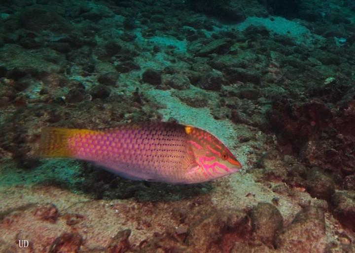 Halichoeres hortulanus ,Pesce scacchiera - Isole Similan -Thailandia