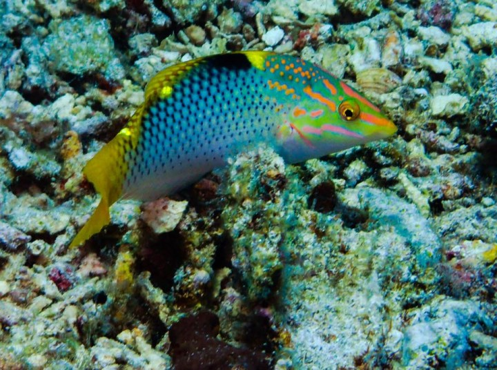 Halichoeres hortulanus ,Pesce scacchiera,Checkerboard wrasse - Philippines, Pescador island , 2015