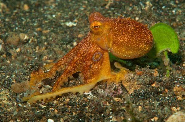 Poison occelate Octopus , Octopus mototi, Polpo mototi