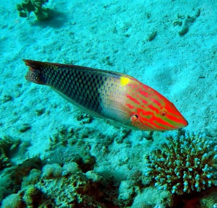 Halichoeres hortulanus ,Pesce scacchiera - Hurgada-Red sea 2015