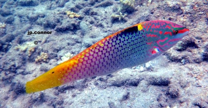 Halichoeres hortulanus ,Pesce scacchiera,Checkerboard wrasse - Foto: John Paul Connor- N'Gouja mayotte Francia