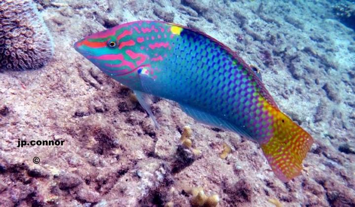 Pesce scacchiera,Checkerboard wrasse - Foto: John Paul Connor- N'Gouja mayotte Francia