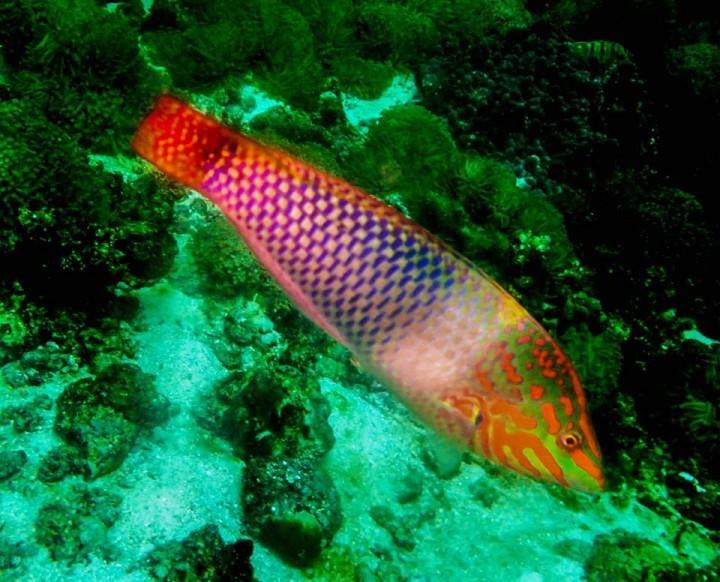 Pesce scacchiera,Checkerboard wrasse - Thailand
