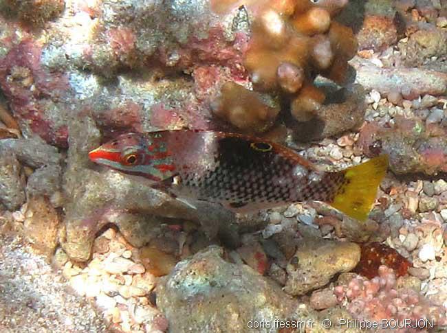 halichoeres hortulanus, Pesce scacchiera - livrea intermedia