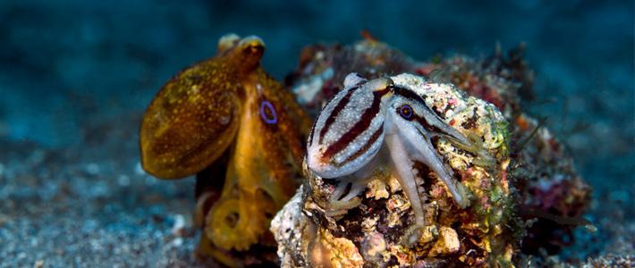 Octopus mototi, Polpo mototi ,Poison occelate Octopus