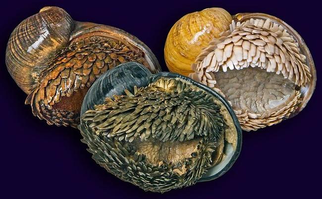 Le tre popolazioni conosciute di Chrysomallon squamiferum: Kairei, Longqi, Solitaire (da sinistra a destra).