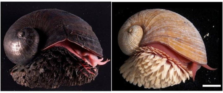 Gasteropode Solitaire, più bianco a causa della mancanza di ferro nel compunds scleriti della conchiglia, sulla destra. Immagine tramite biologia-forum