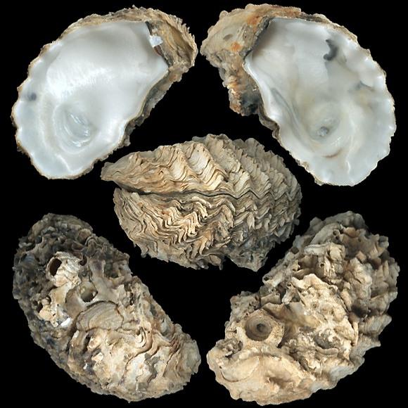 Ostrica, Ostriche di Sicilia,Crassostrea gigas