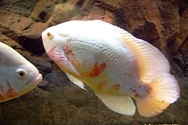 Astronotus ocellatus --albino
