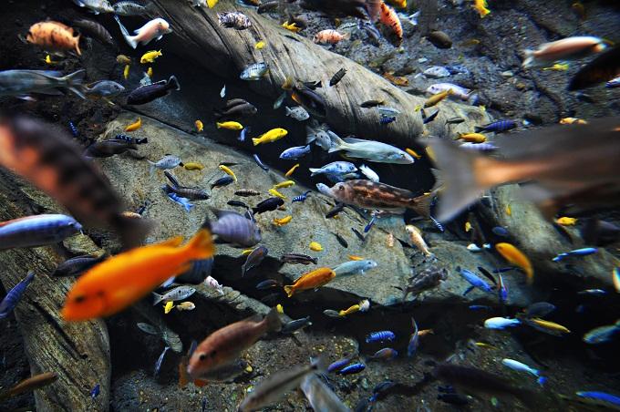 Pesci Ciclidi del lago Vittoria
