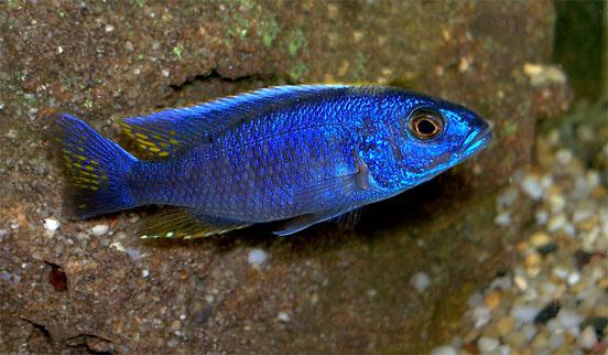 Sciaenochromis fryeri - Adulto- maschio