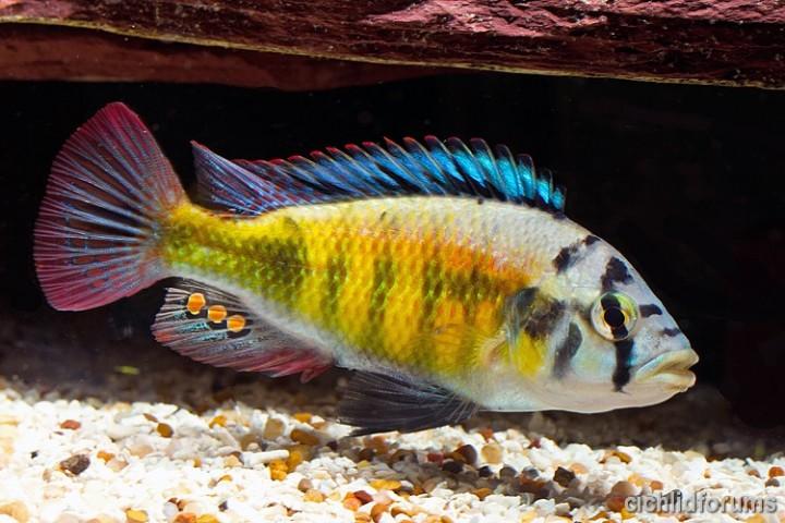 Haplochromis luteus